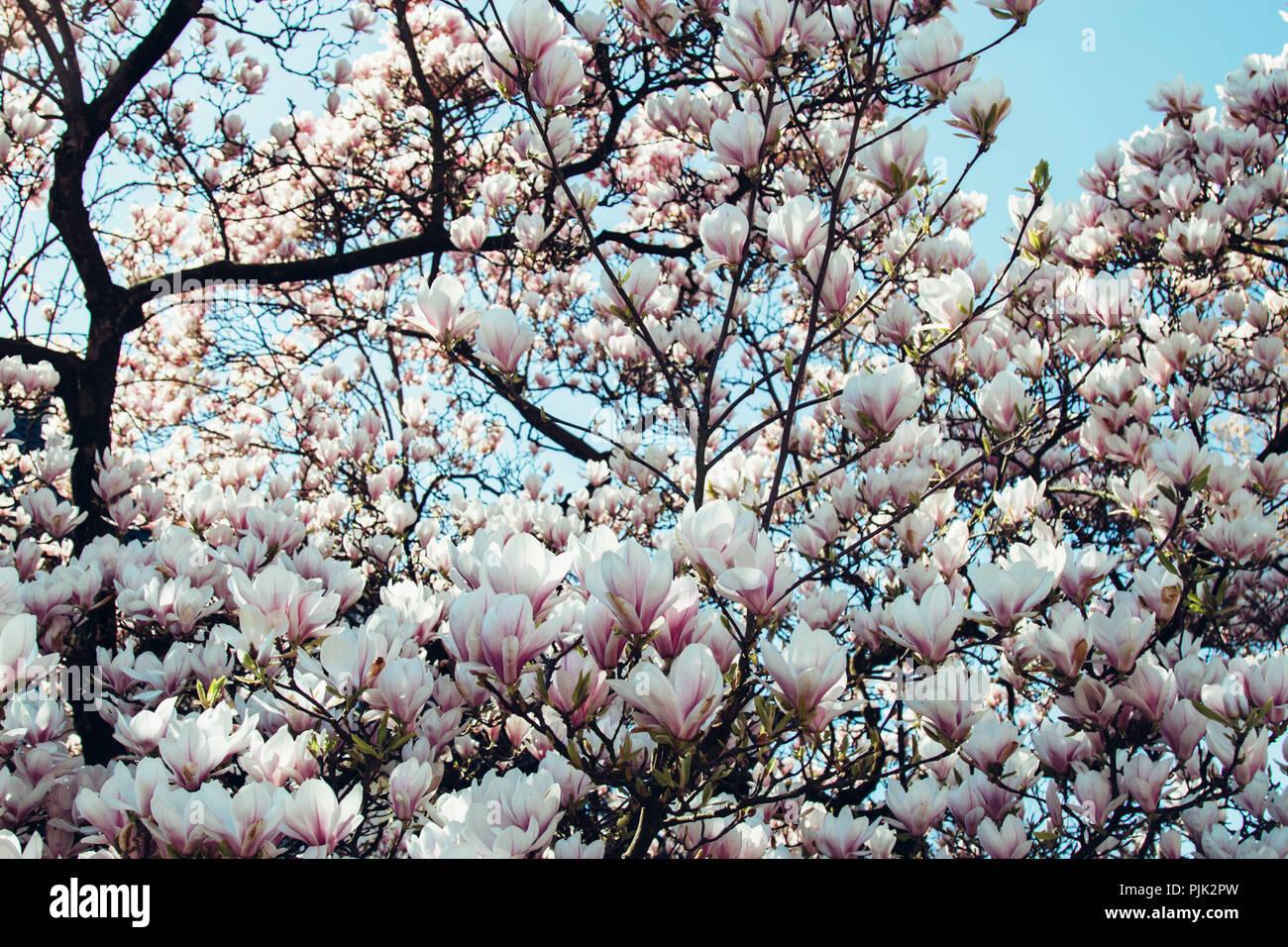Magnolia Tree In Bloom In Spring Sun Stock Photo 218007521 Alamy