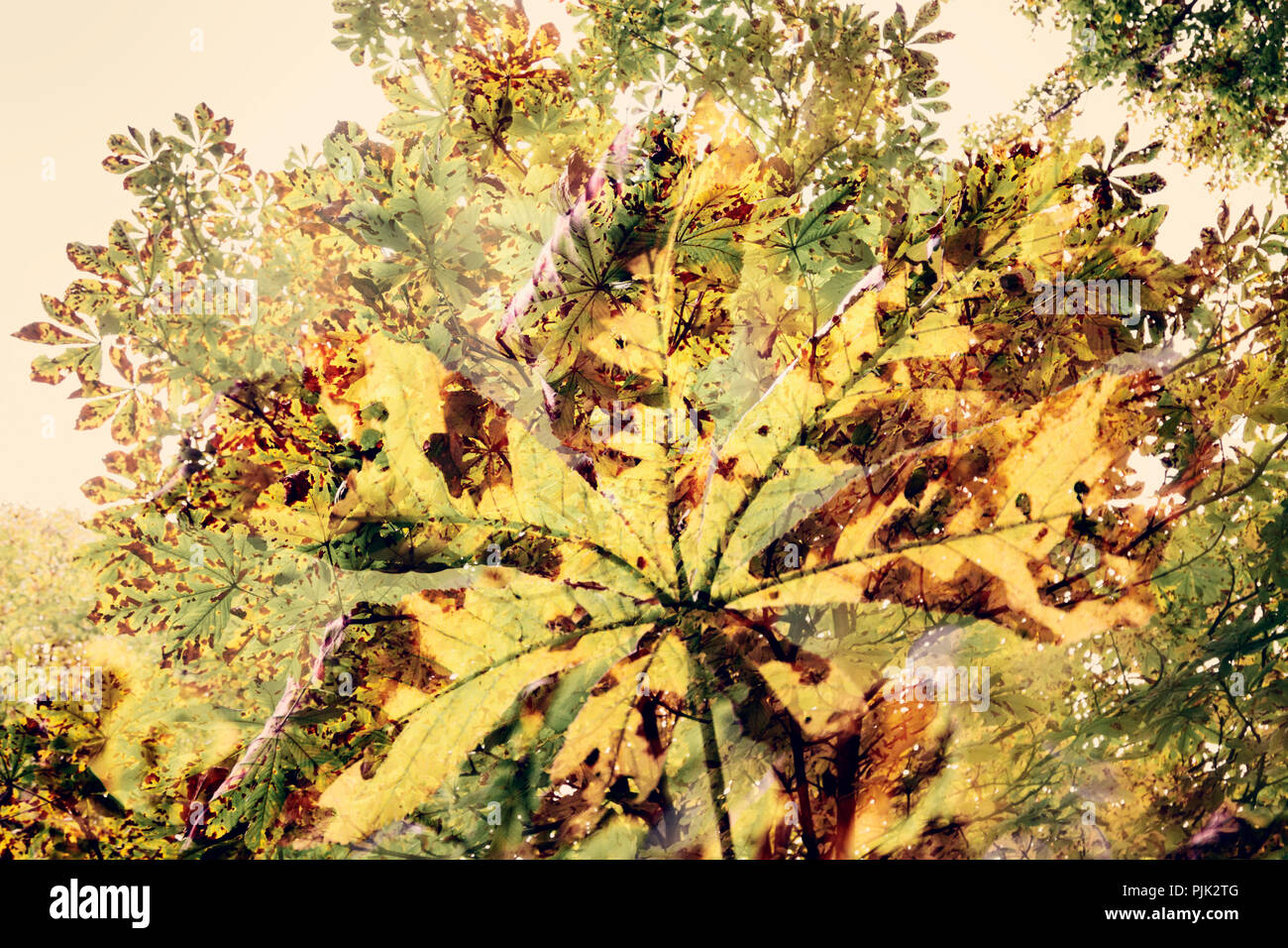 Chestnut tree artistical photographed with the help of double exposure, - Stock Image