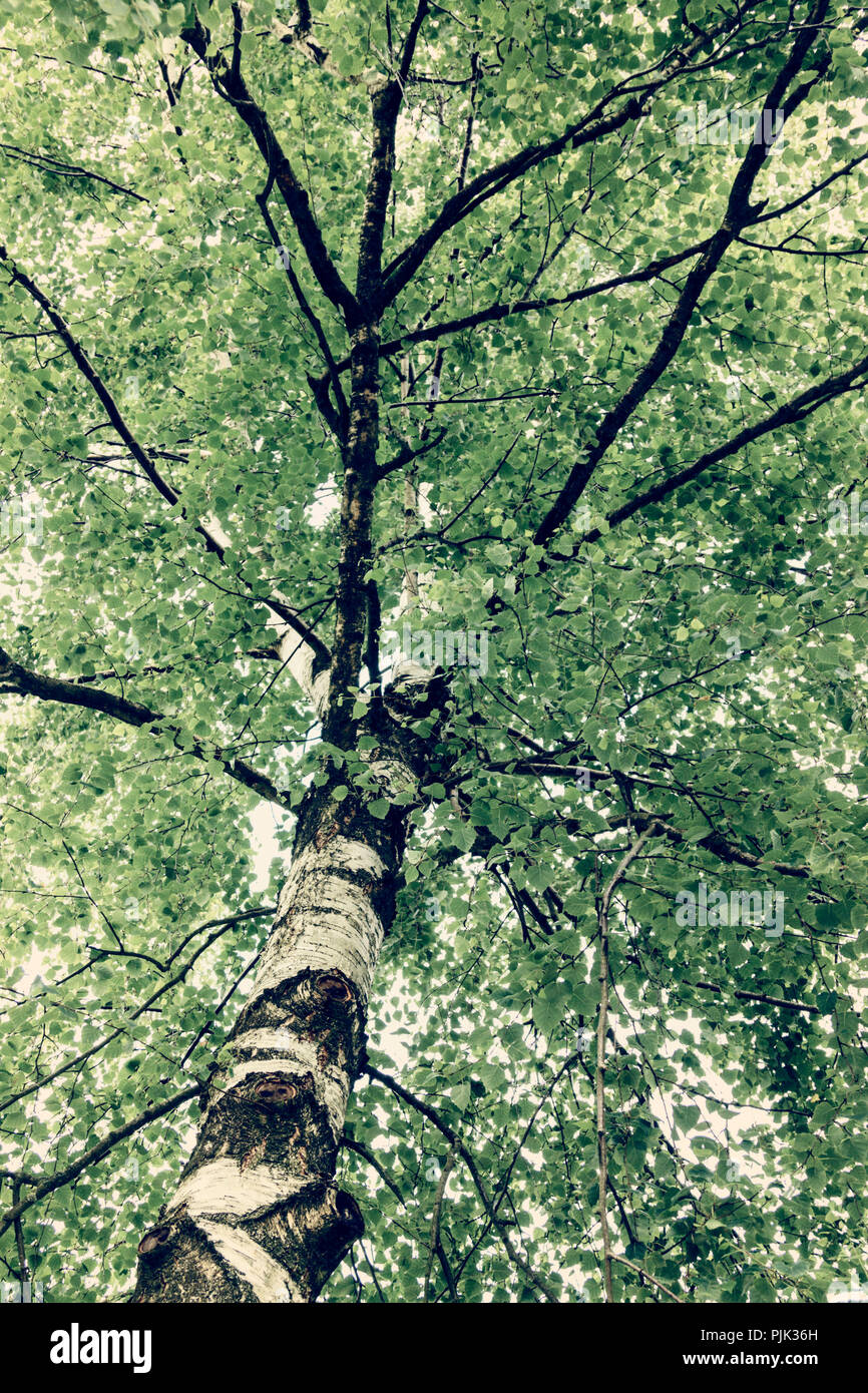 Summery birch, - Stock Image