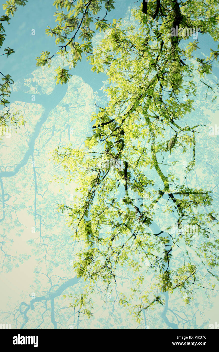 Oak in spring, artistical photographed in double exposure - Stock Image