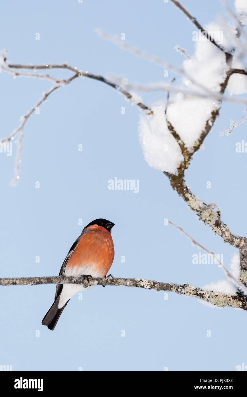 Bullfinch in the snowy branches of a tree Stock Photo