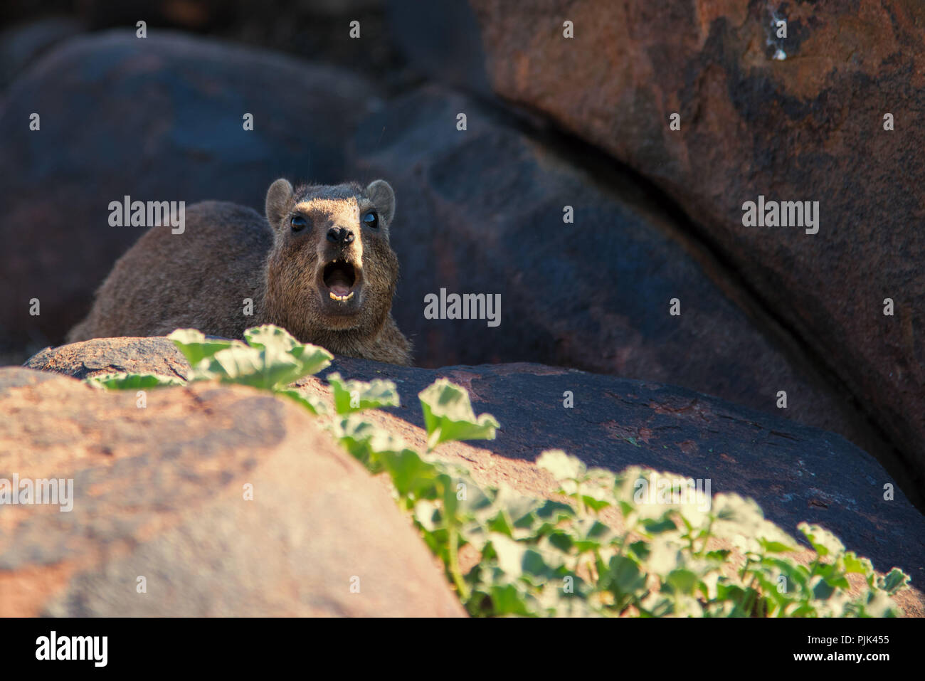 Rock hyrax, loud barking in Namibia, quiver tree forest. - Stock Image