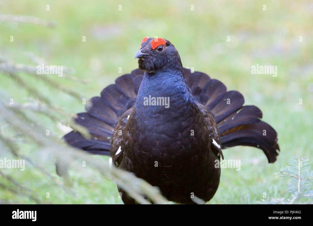 Blackgame, black grouse - Stock Image
