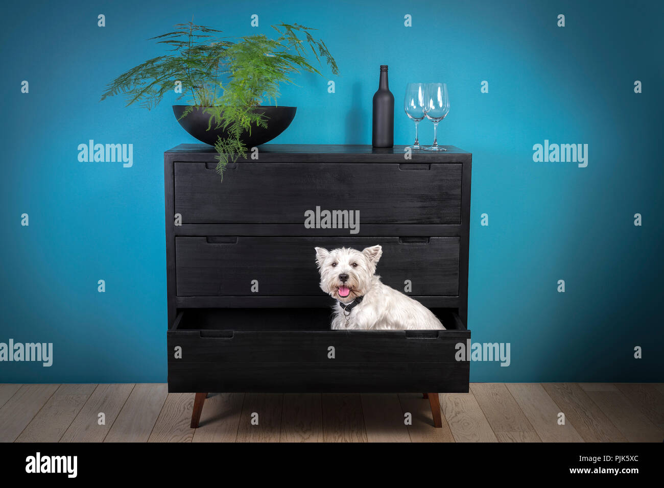 West Highland White Terrier or 'Westie' which has been put up in the drawer of a contemporary chest of drawers to the wood superficially burnt. - Stock Image
