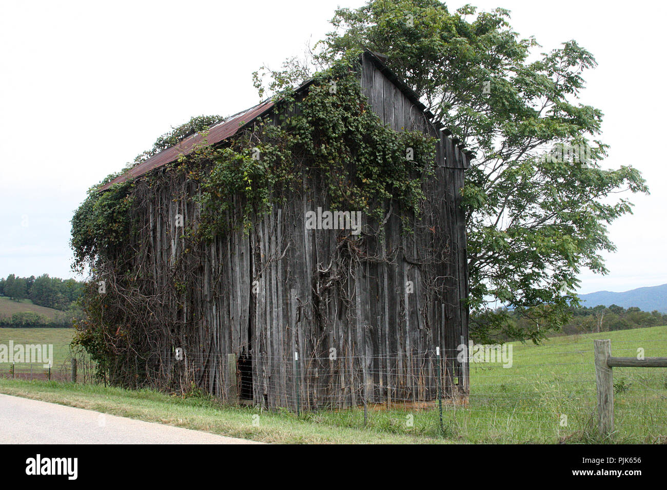 Abandoned shed covered by vines - Stock Image