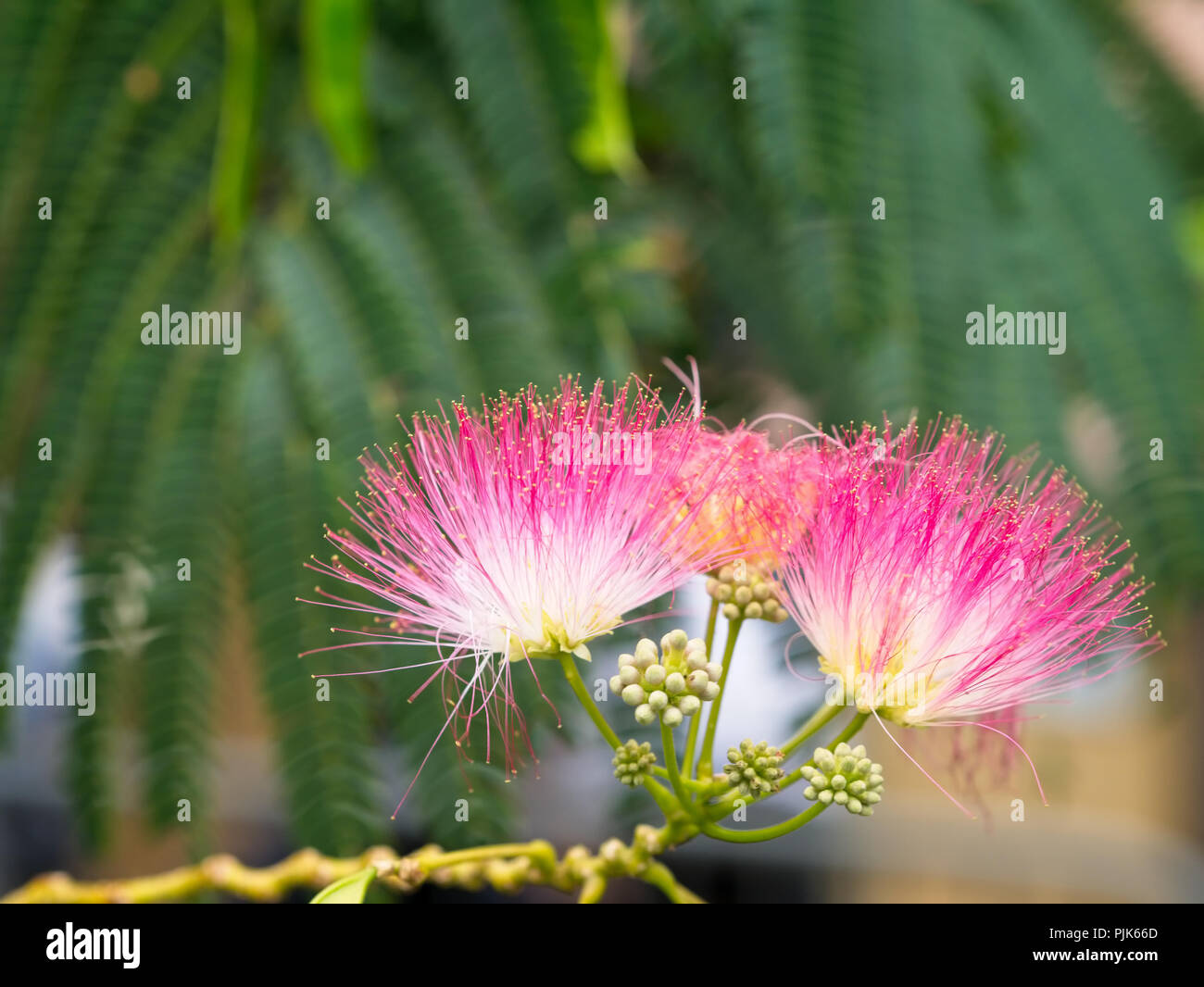 Close up of persian silk tree or pink siris albizia julibrissin close up of persian silk tree or pink siris albizia julibrissin flowers foliage and immature fruit in the background mightylinksfo