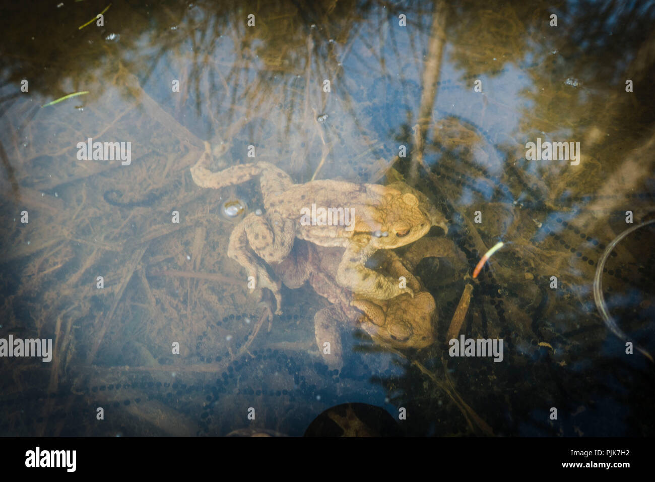 Frog releasing spawn into water, close-up - Stock Image