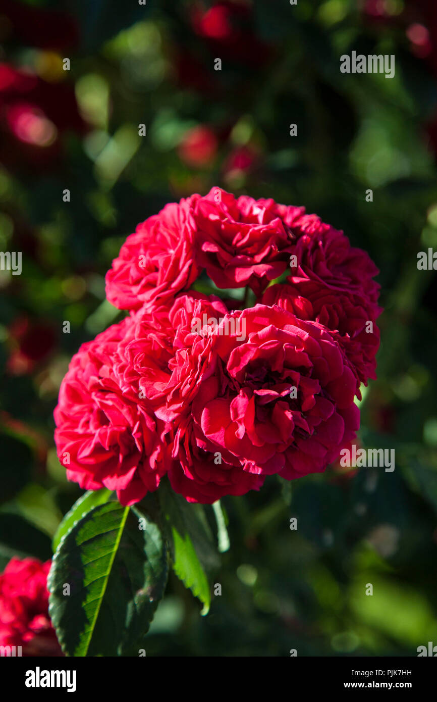 Flowering rambling rose 'Chevy Chase', Close-up - Stock Image