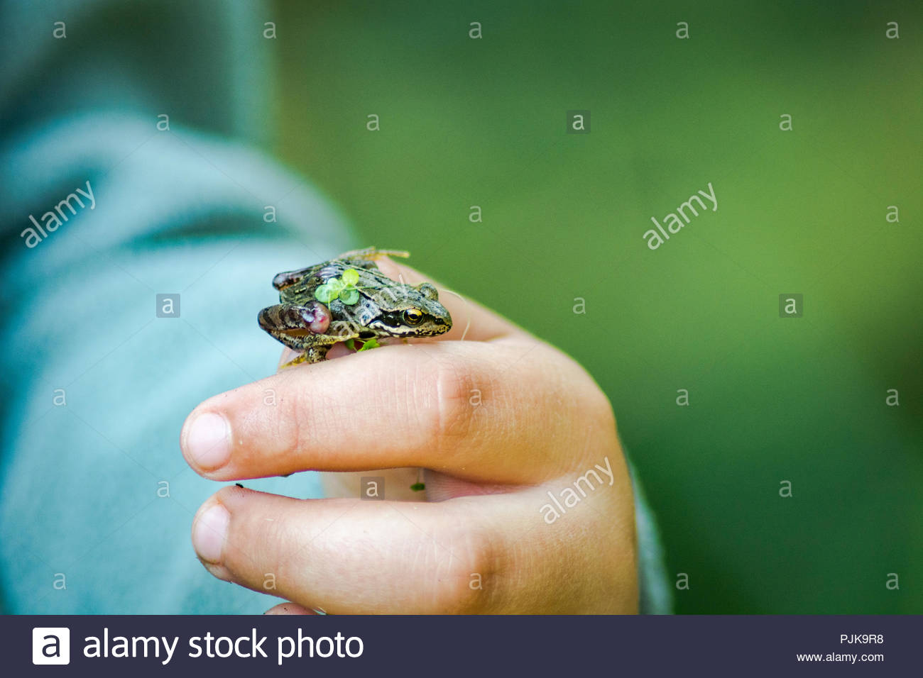 Small frog on a hand - Stock Image