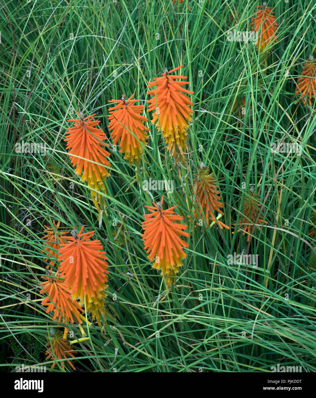 Kniphofia 'Bressingham Comet' Stock Photo