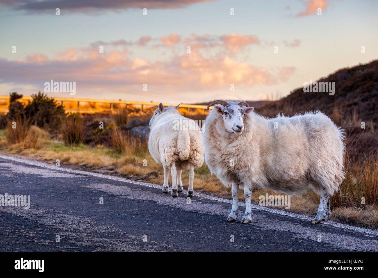A few sheeps on the highway A836 in the scottish highlands - Stock Image