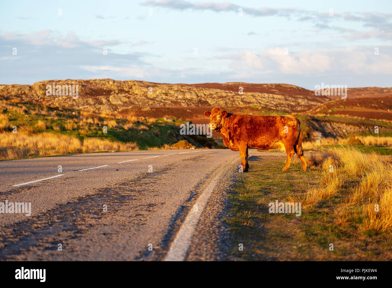 Cattle in the scottish highlands - Stock Image