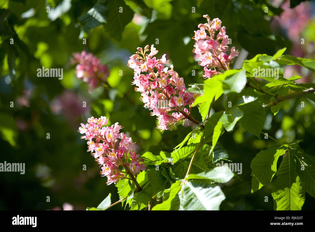 Horse Chestnut With Pink Flowers Stock Photo 218017964 Alamy