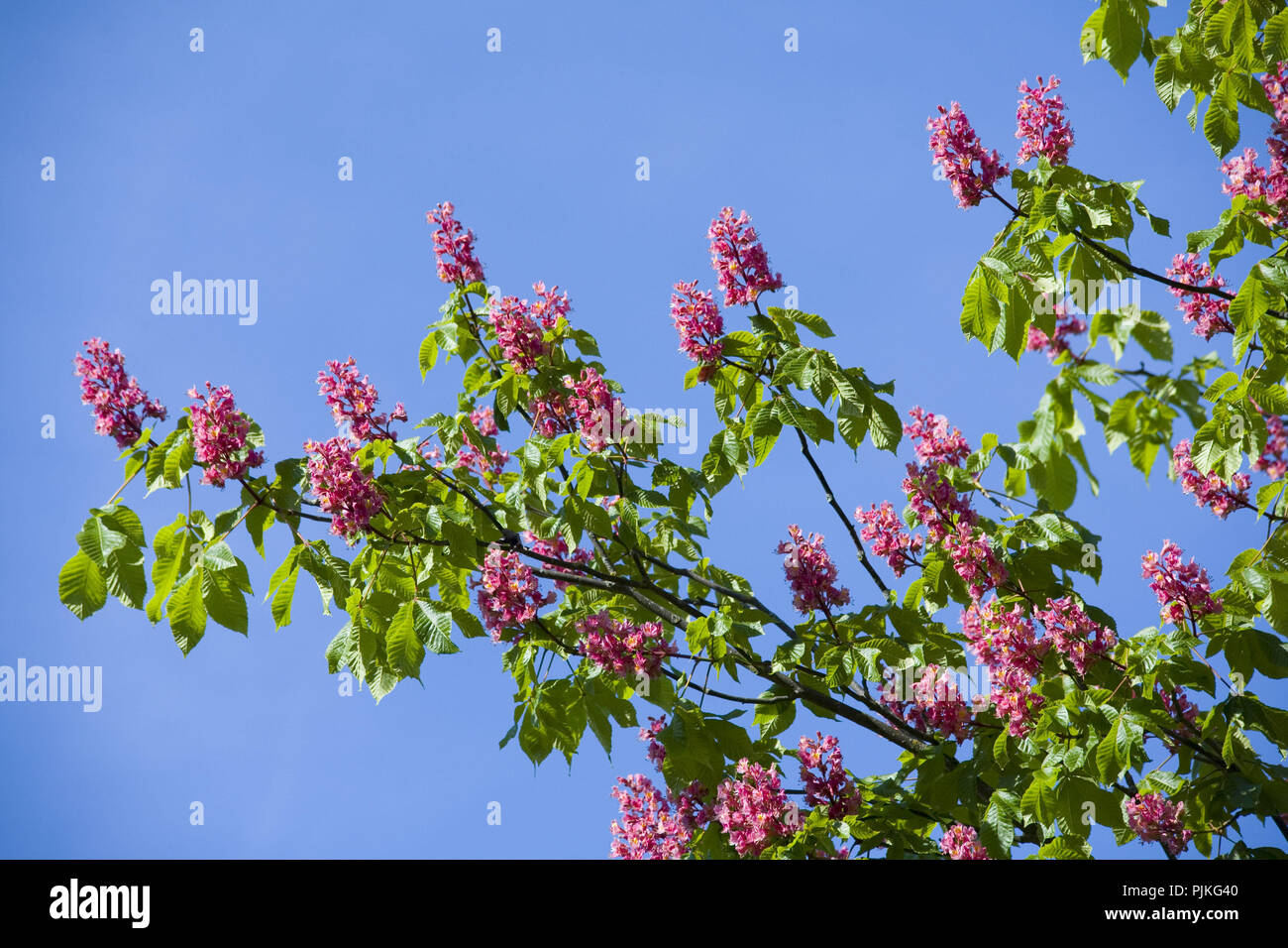 Horse Chestnut With Pink Flowers Stock Photo 218017968 Alamy
