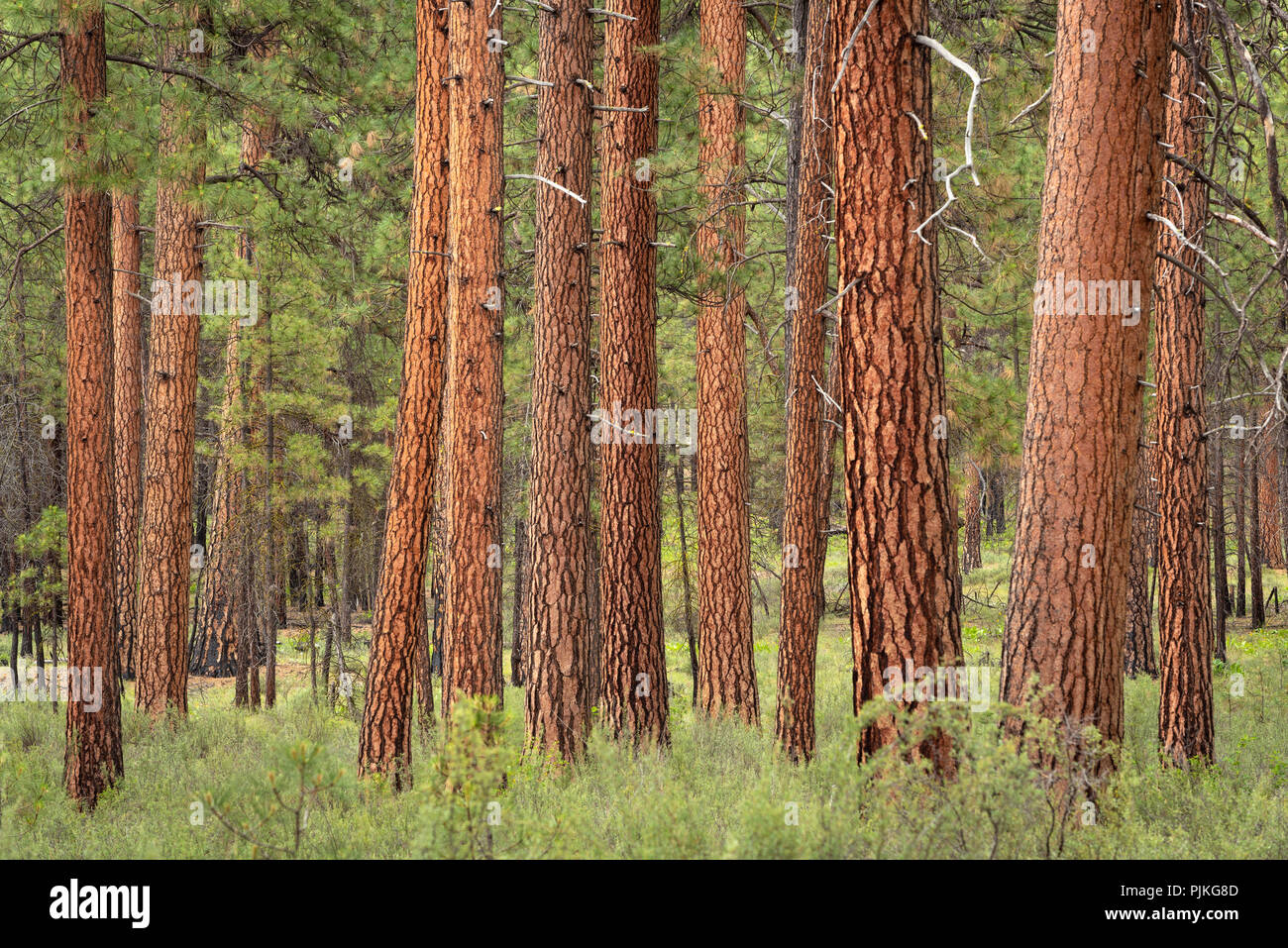 Ponderosa Pine trees in the Metolius River Natural Area, Deschutes National Forest, central Oregon. - Stock Image