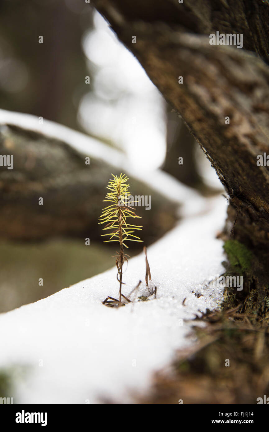 small sapling of a conifer in winter - Stock Image