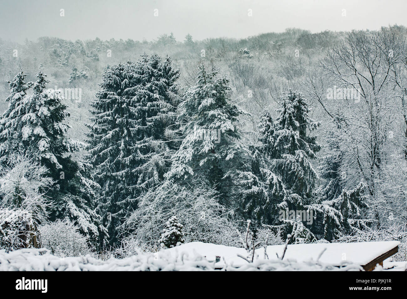 Fir trees with snow and snowy trees in the background - Stock Image
