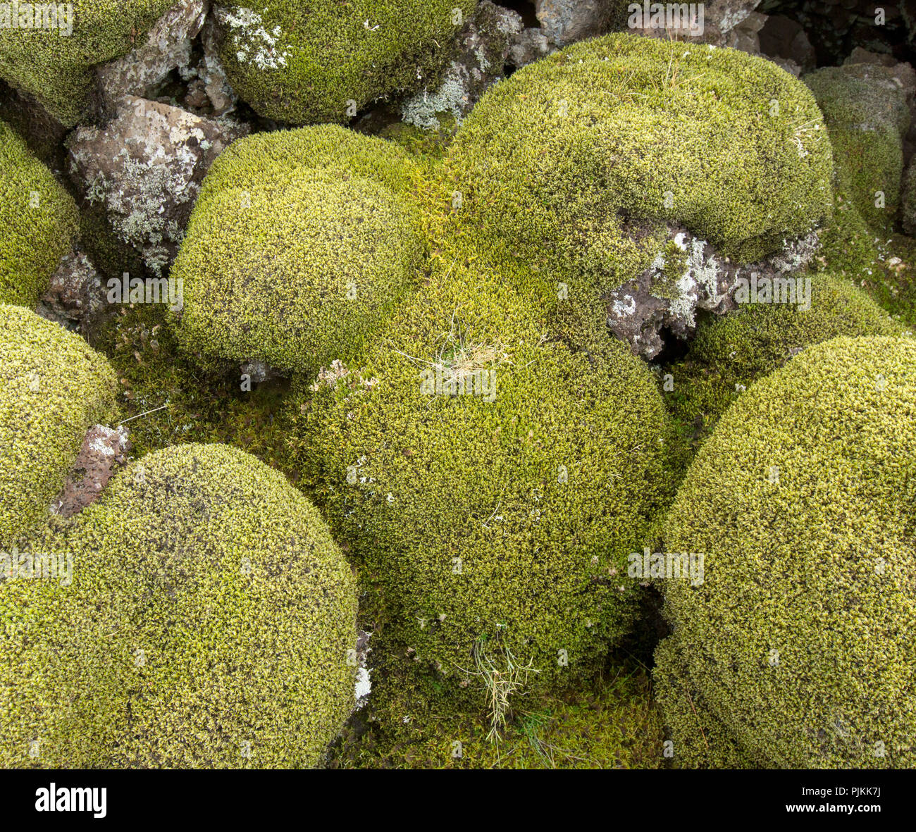 Iceland, moss-covered lava rocks, pillow-shaped Stock Photo