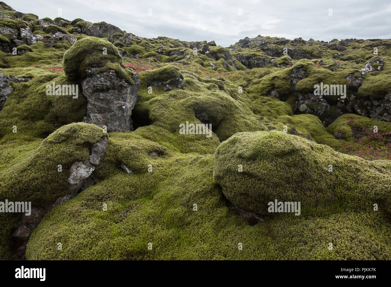 Iceland, moss-covered lava rocks, pillow-shaped, face in moss, red cranberry foliage Stock Photo