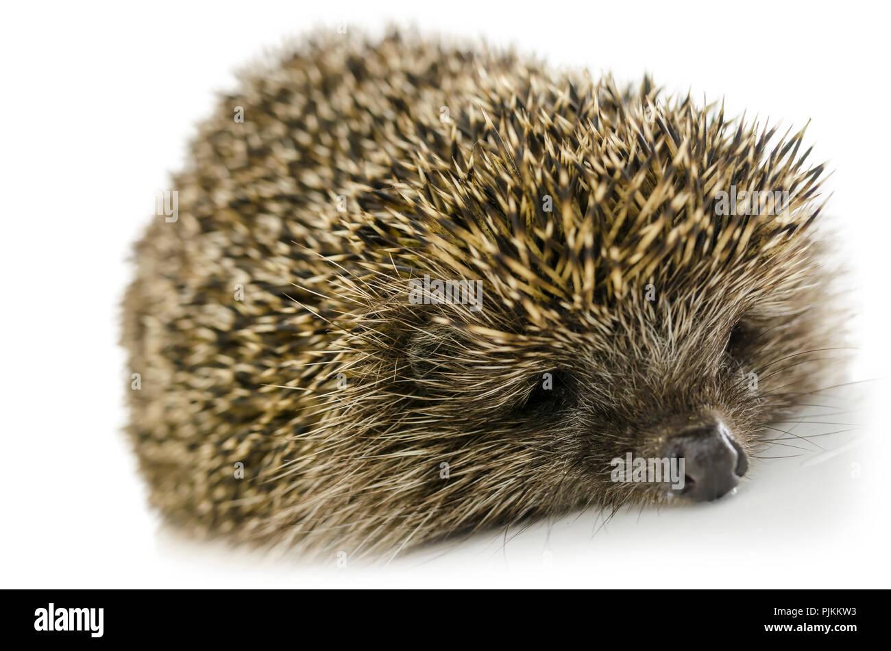 Sleeping hedgehog isolated on white background. - Stock Image