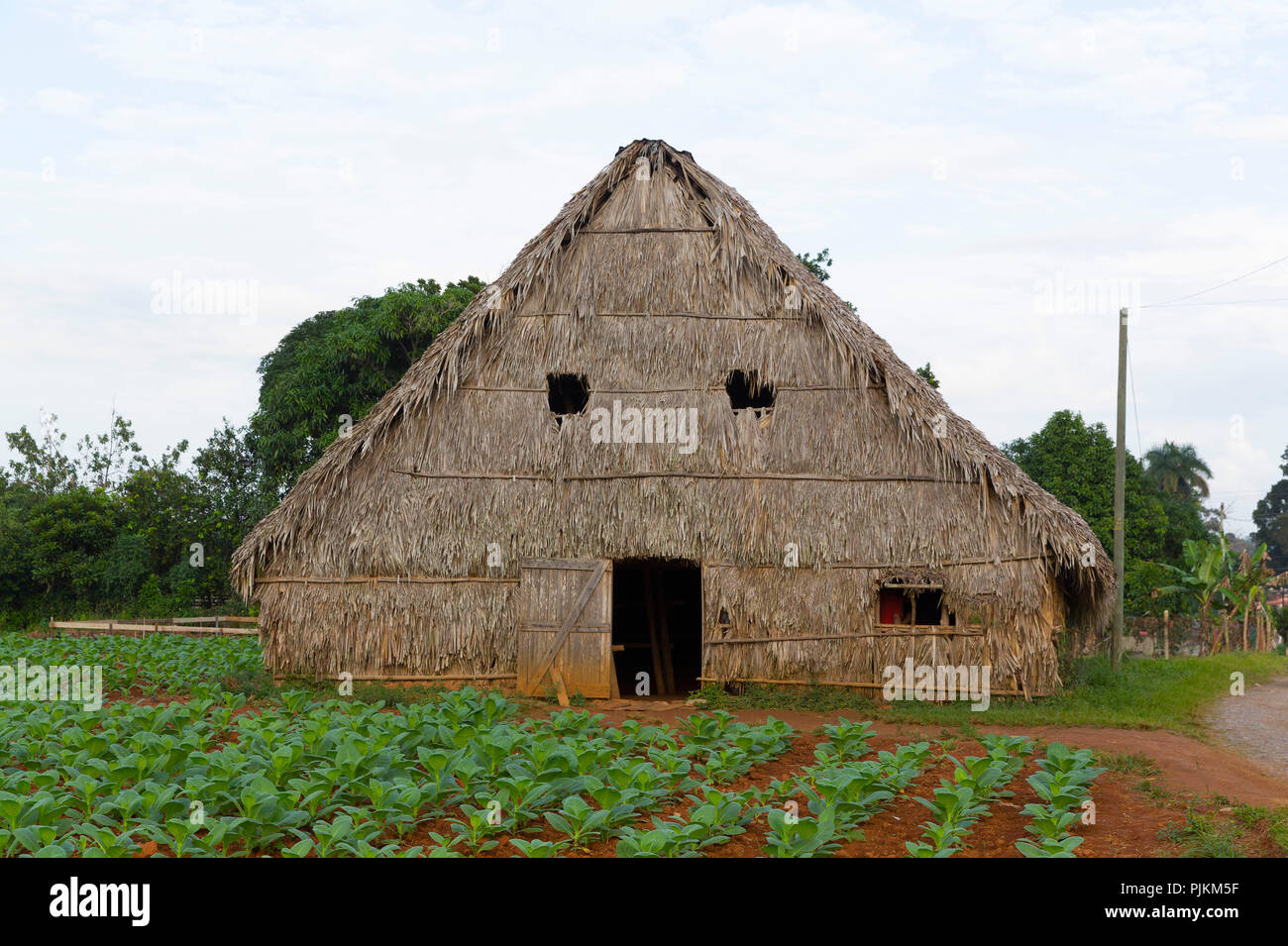 Shed for drying tobacco leaves, tobacco farm, Vinales Valley, Province of Pinar del Rio, Cuba, Republic of Cuba, Greater Antilles, Caribbean Sea - Stock Image