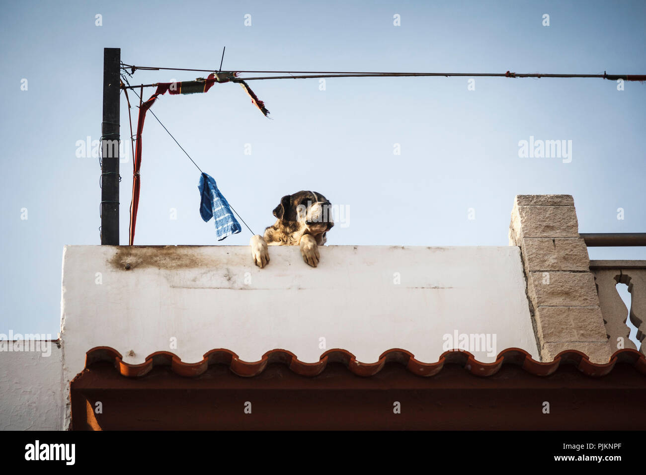 A big dog looking over a wall and observing the surroundings - Stock Image