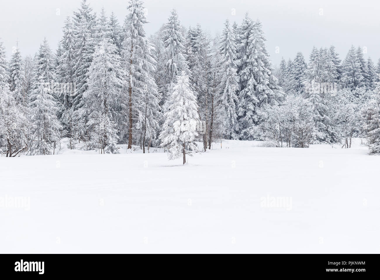 Firs and spruces in snowy landscape, - Stock Image