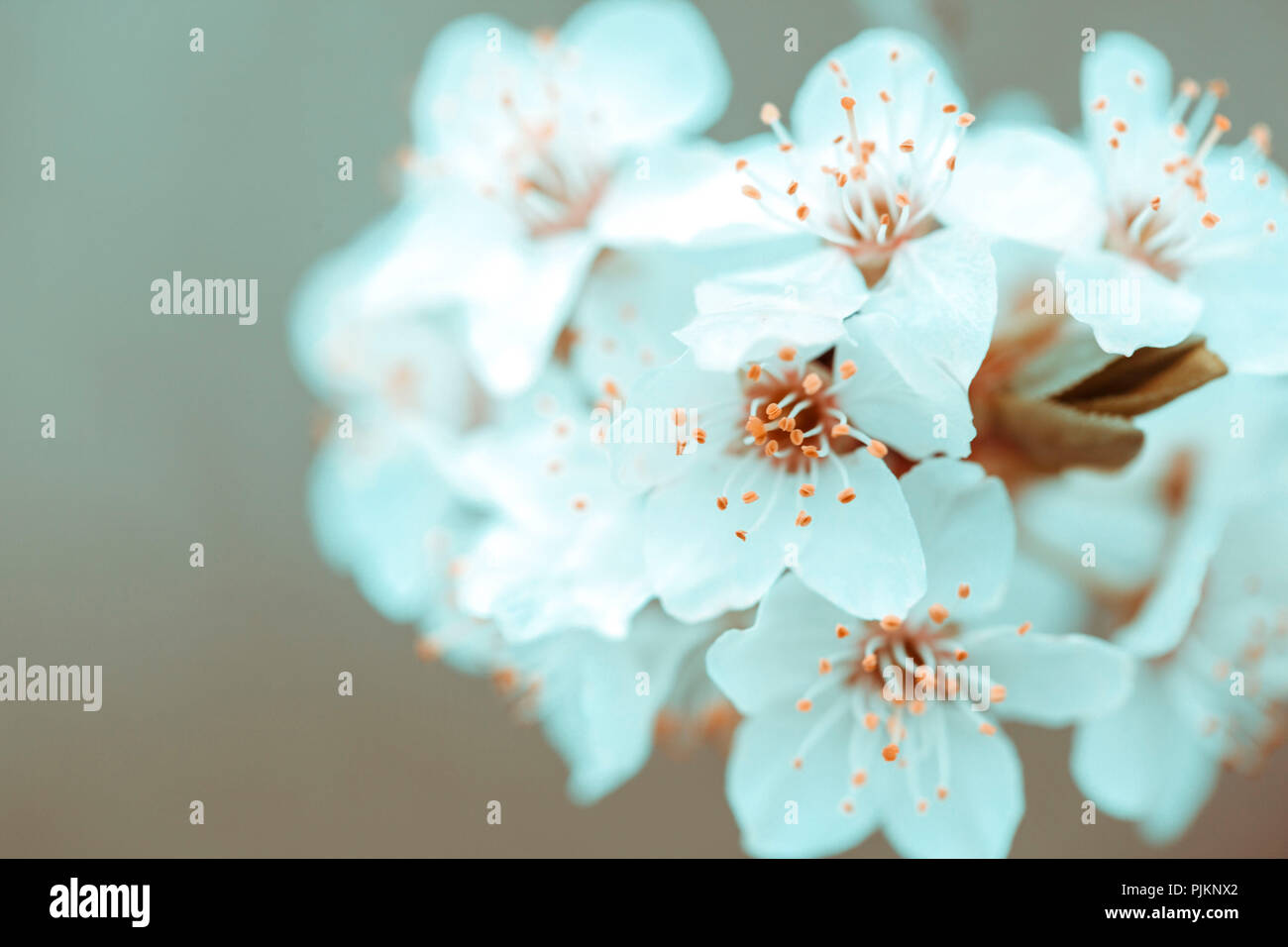 Delicate white spring blossoms on a fruit tree, - Stock Image