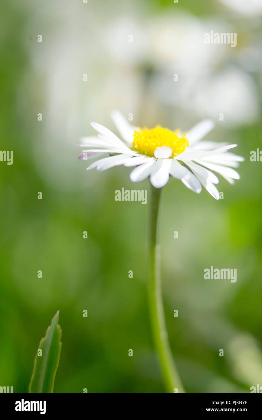 Daisies in the summer meadow, Stock Photo