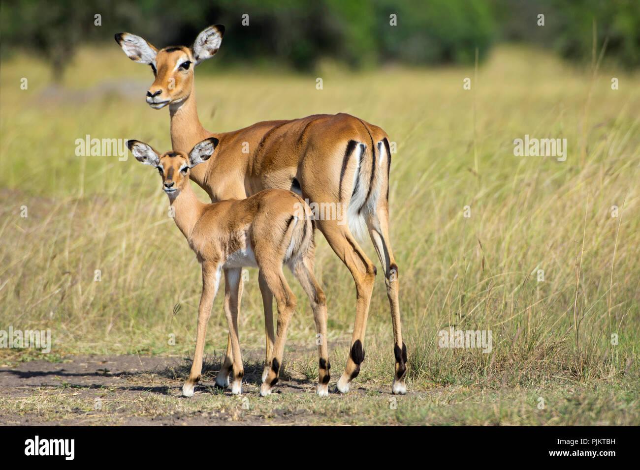 Impala, Impalas, Antelopes, Aepyceros Melampus, Ewe with Calf, Lake Mburo National Park, Uganda - Stock Image