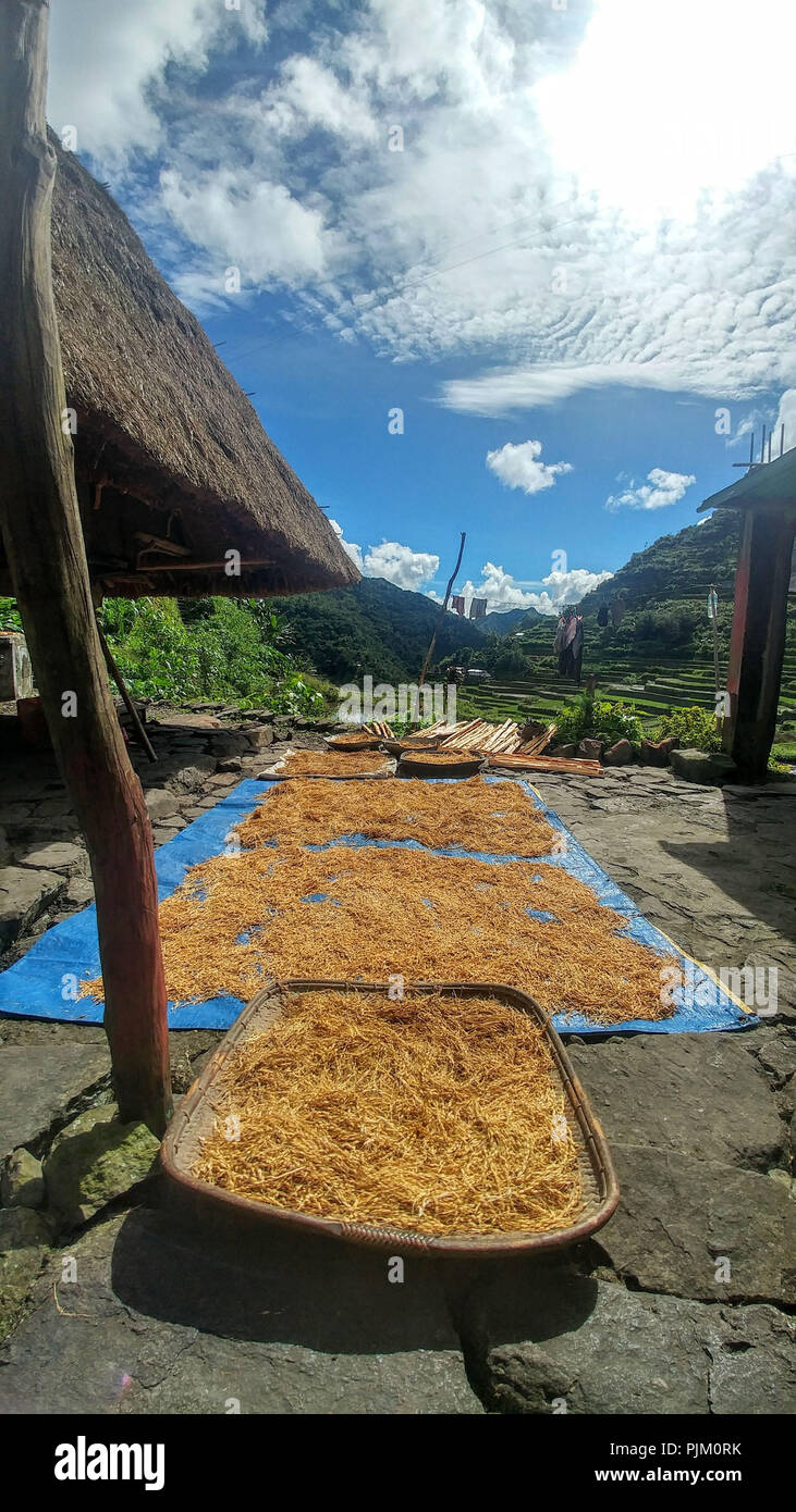 Rice is dried on the rice terraces of Banaue on Luzon Island, Philippines - Stock Image