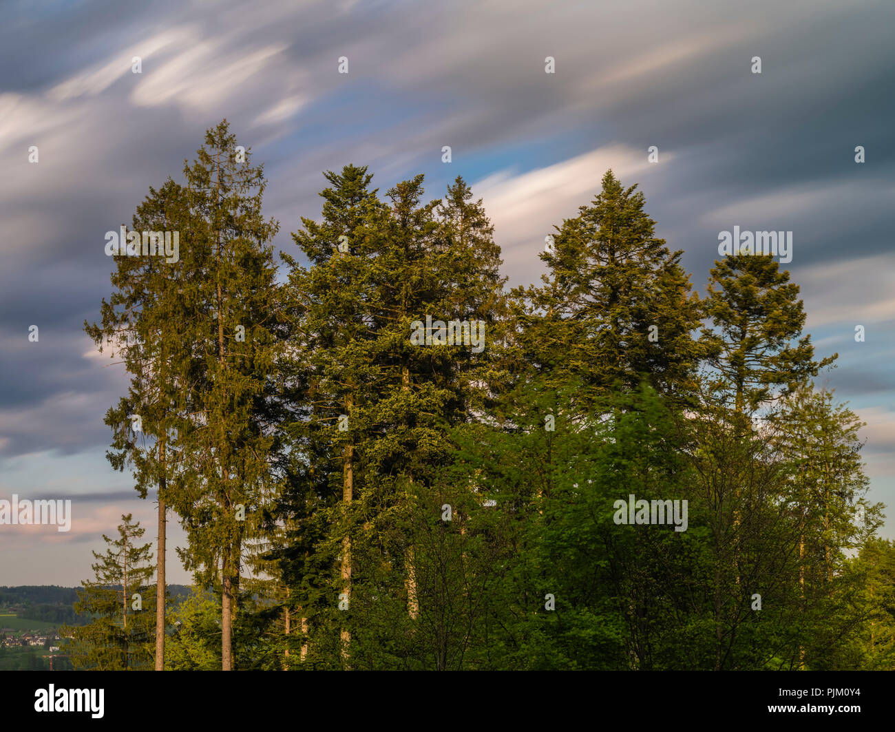 Tree group of conifers in the evening light in front of moving clouds - Stock Image