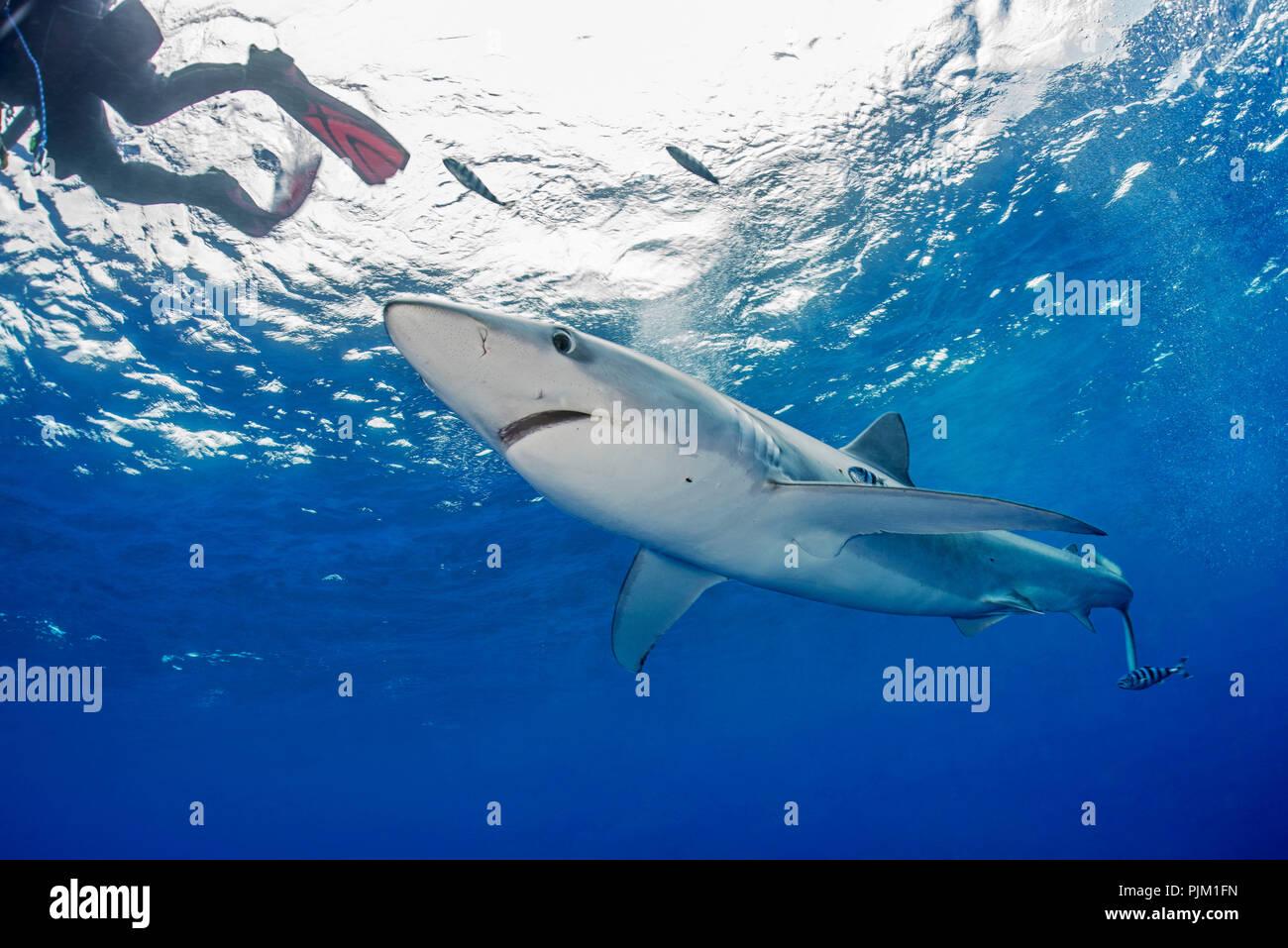 Prionace glauca, blue shark, shark in the Atlantic Ocean Stock Photo