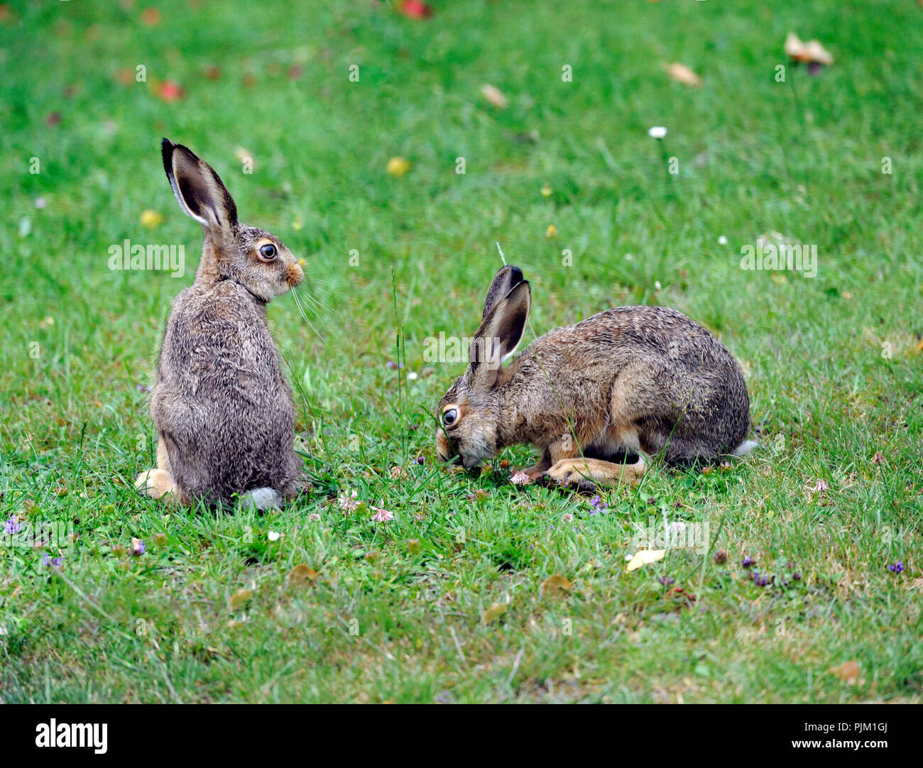 Field hares hop in search of food in the summer meadow - Stock Image
