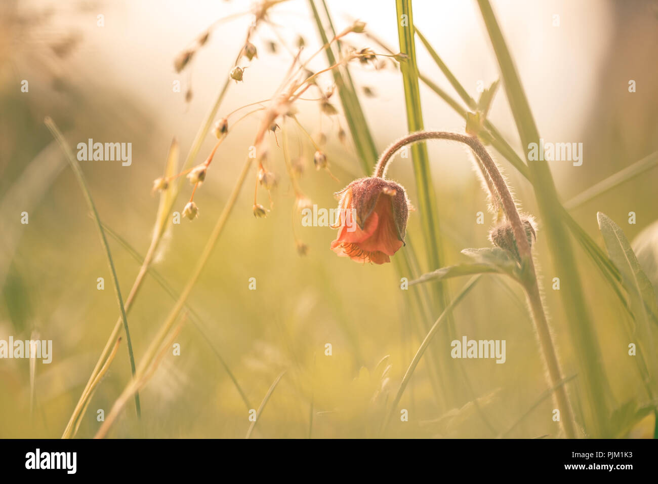 Cormorot (Geum rivale) flowering on a meadow in soft light - Stock Image