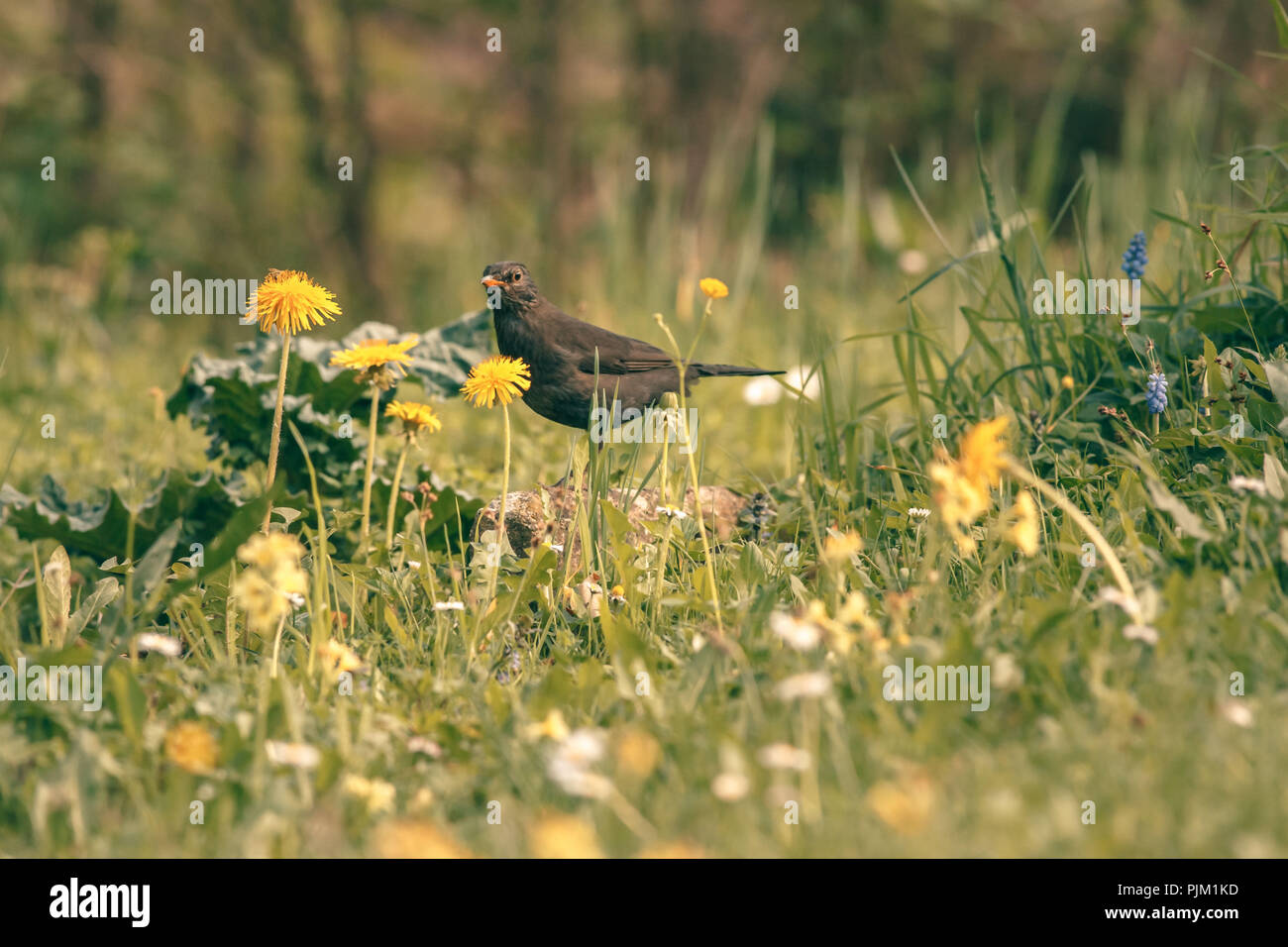 A blackbird sits in the meadow and observes the surroundings, - Stock Image