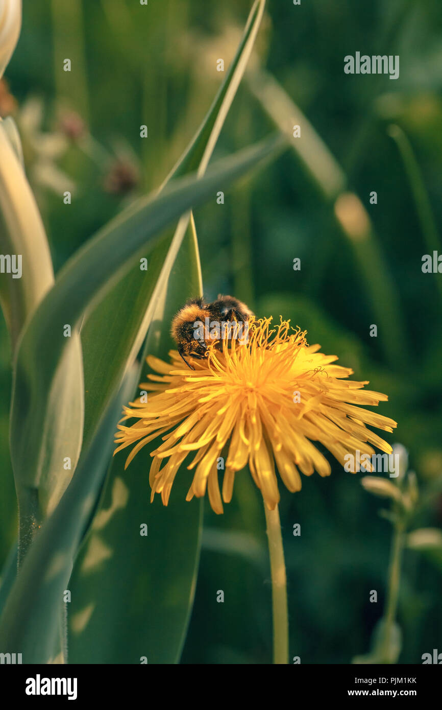 Honeybee (Apis mellifera) collects nectar on a dandelion, - Stock Image