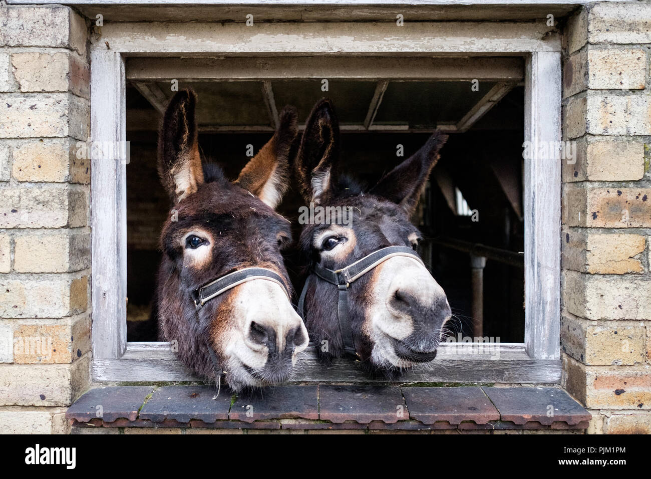 Two donkeys in a barn at Wheelbirks Parlour, Stocksfield, England. - Stock Image