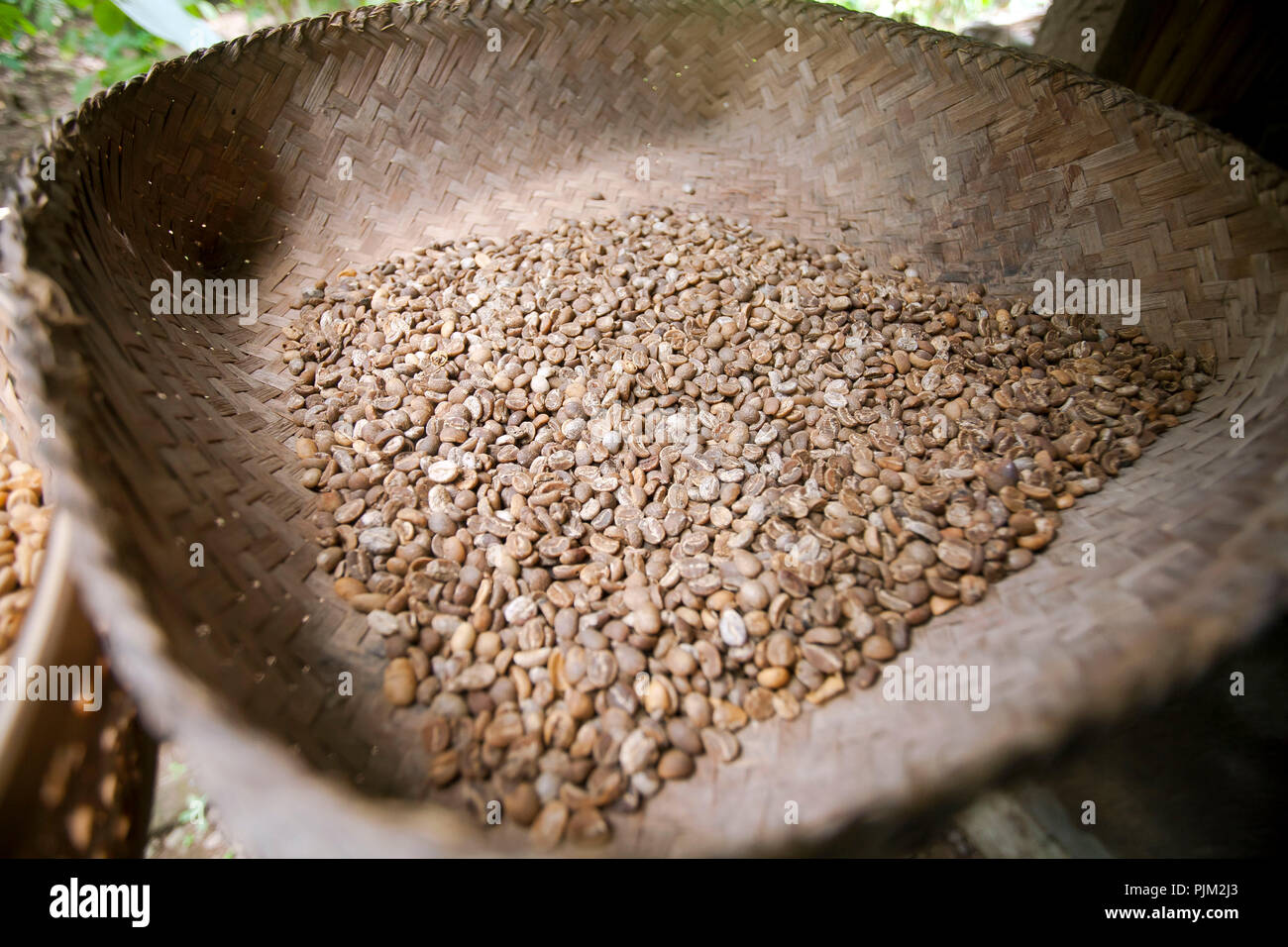 purified fermented Luwak coffee beans from Asian palm civet (Paradoxurus hermaphroditus) on coffee plantation, Ubud, Bali, Indonesia - Stock Image