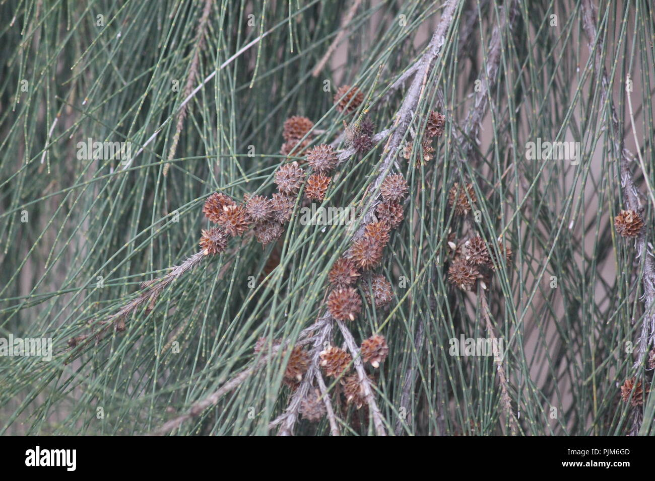 Casuarina branch, foliage and cone-like fruiting bodies in Queanbeyan, NSW, Australia. - Stock Image