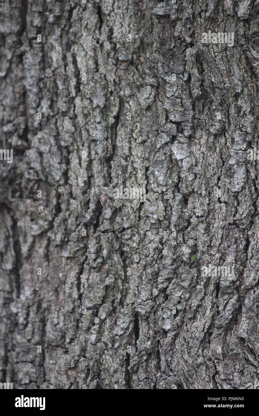 Trunk  and bark of casuarina tree in Queanbeyan, NSW, Australia. - Stock Image