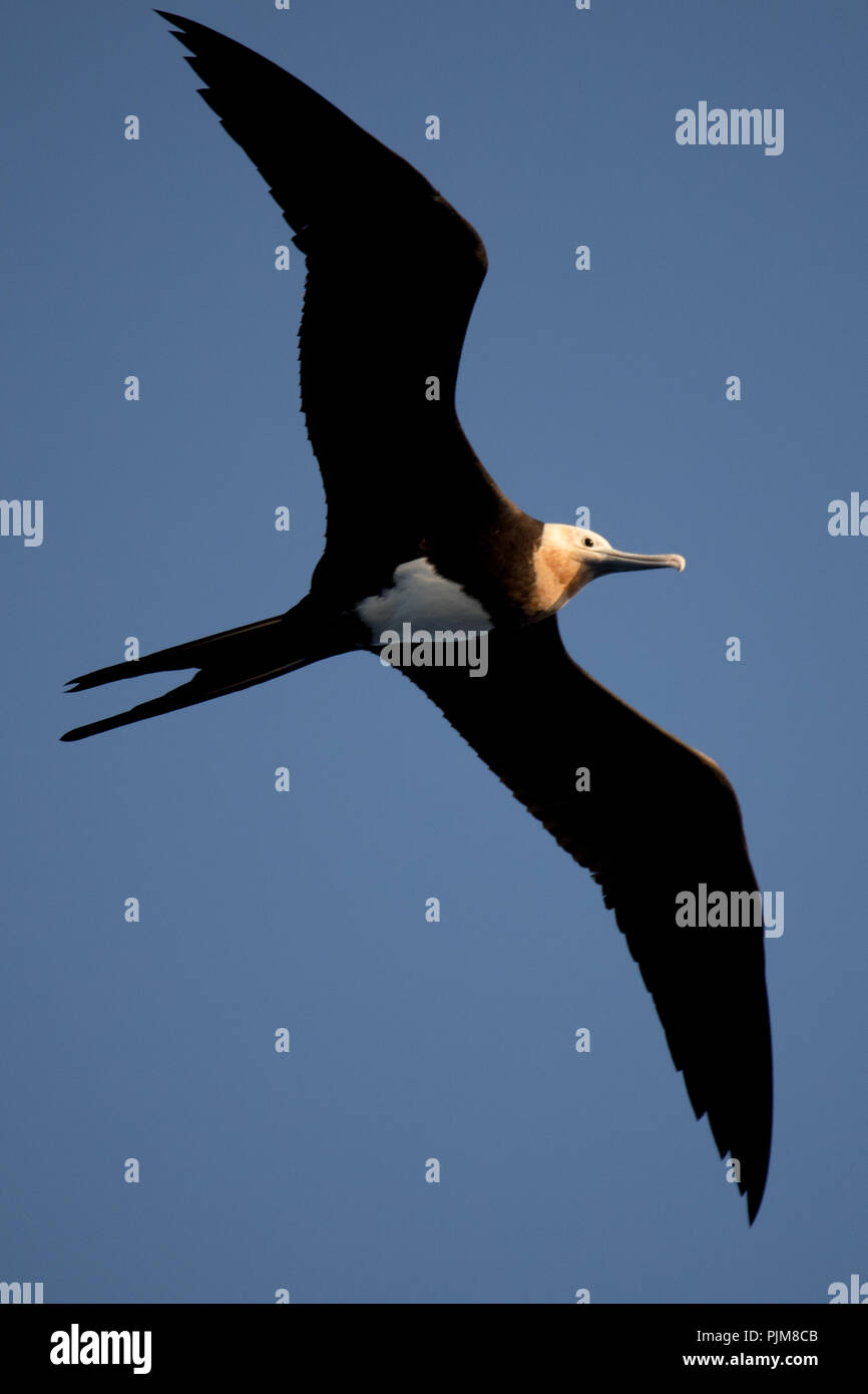 A juvenile frigatebird flying above Millennium atoll in the southern Line Islands of Kiribati. - Stock Image