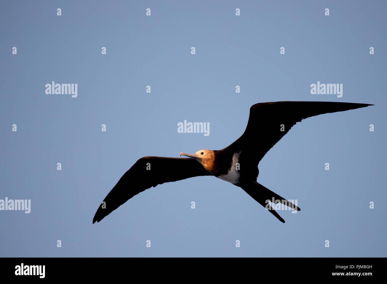 A juvenile frigatebird flying above Millennium atoll in the southern Line Islands of Kiribati. - Stock Image