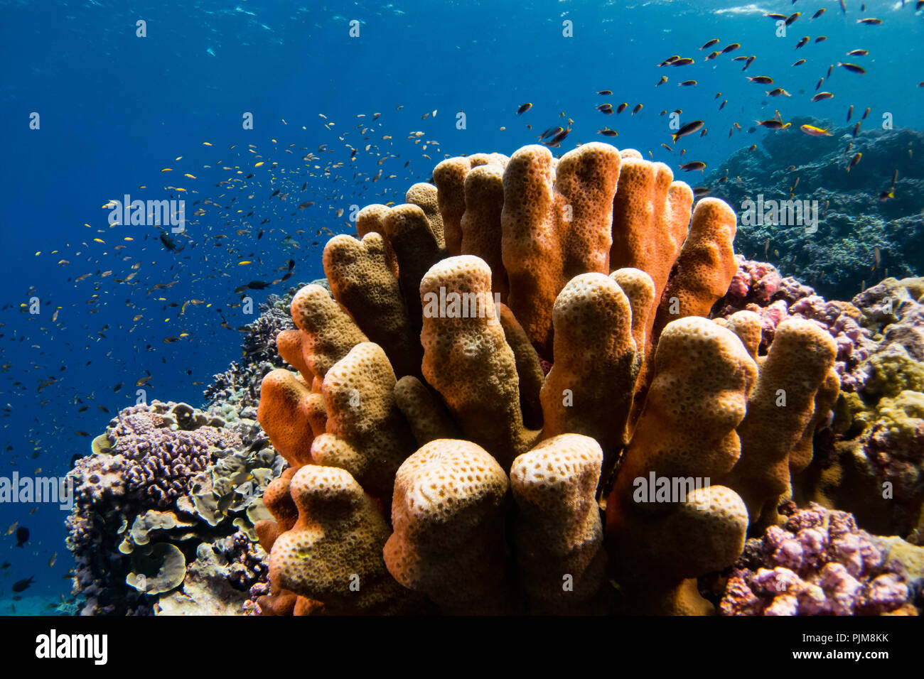 Diving on the reef of Millennium atoll in Kiribati showing the dead coral from coral bleaching due to climate change. - Stock Image