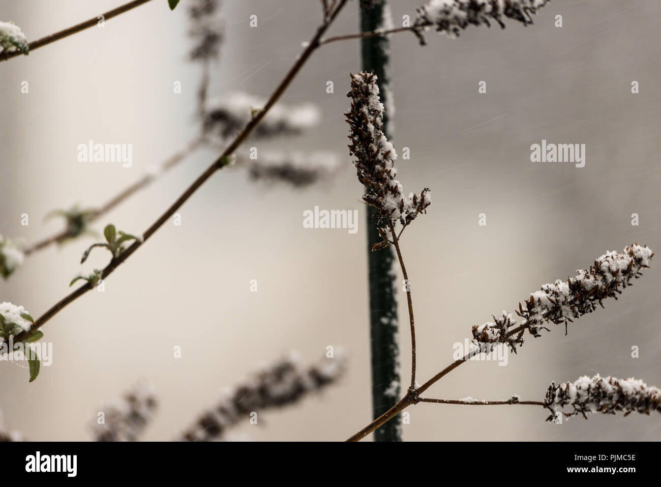 Branches in winter, summer lilac - Stock Image