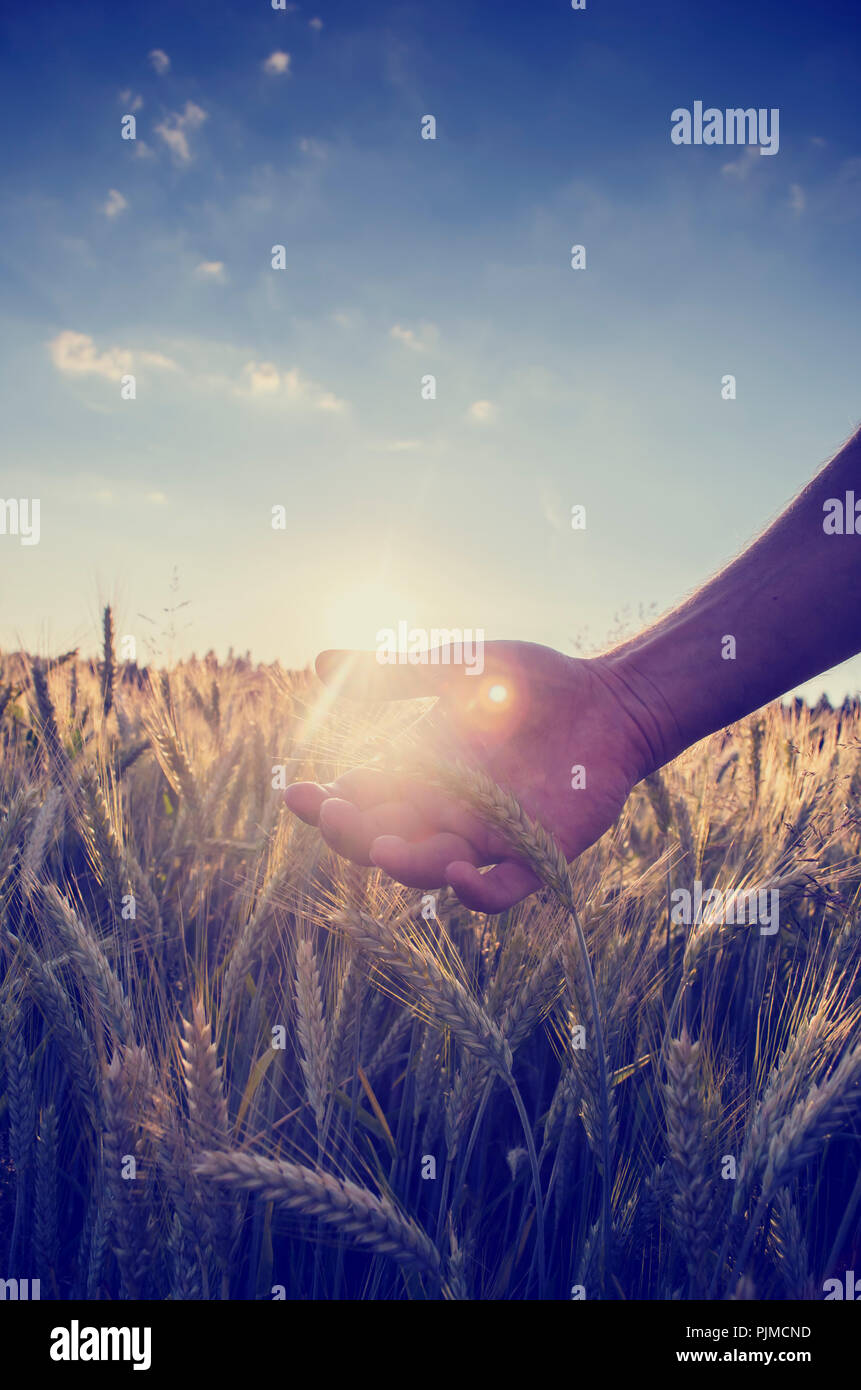 Retro image with a faded sun flare effect of a hand cupping the wheat over a field of ripening ears of wheat on a hot summer day under a clear blue sk Stock Photo