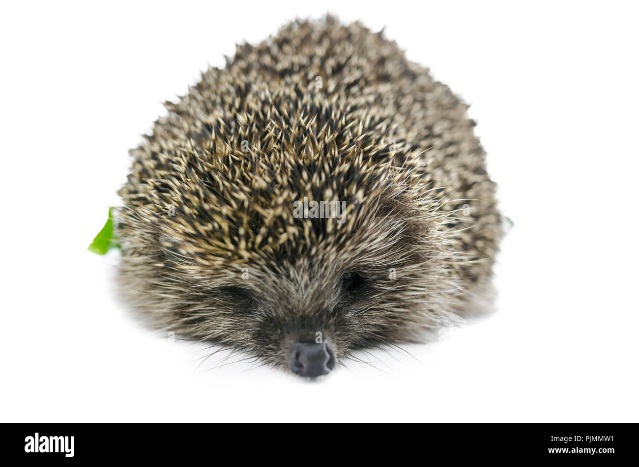 Front view of  hedgehog. Isolated over white background. - Stock Image