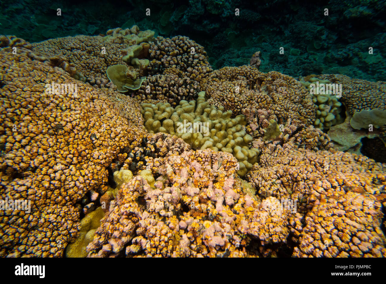 Diving on the reef of Millennium atoll in Kiribati showing the dead coral from coral bleaching due to climate change. Stock Photo