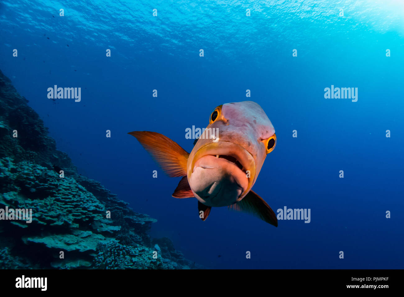A curious red snapper or red bass approaches divers on the reef at Millennium Atoll, also known as Caroline Island in Kiribati, South Pacific Stock Photo