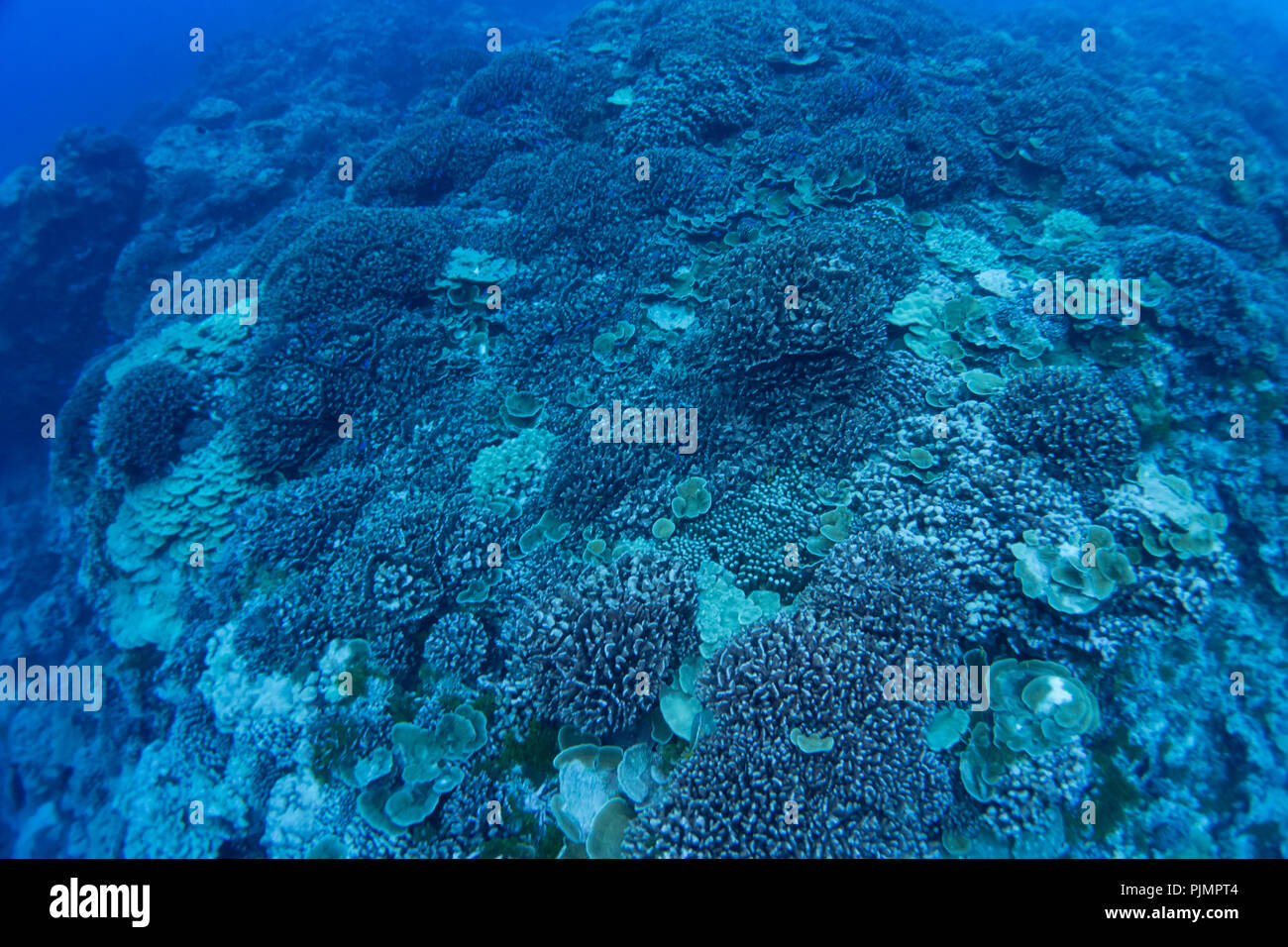 Bleached and dead corals at Millennium atoll in the southern line islands of Kiribati. - Stock Image